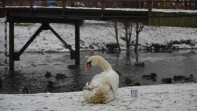 В Глубоком на озере Кагальное спасли раненого лебедя